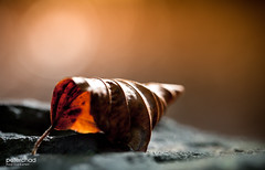 Leaf_fall9 (PeterChad) Tags: autumn brown color colour fall loss leaves yellow sadness leaf alone decay getty waste ending tweet twitter whatgettywants colorfulimagesofleavesshowingveins welcomeuk