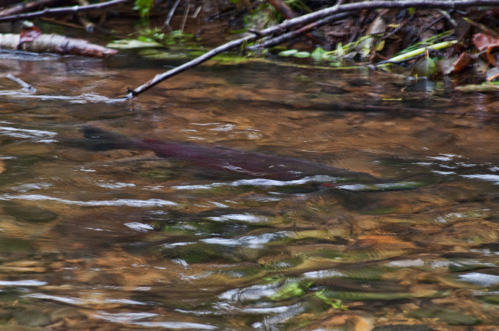 Salmon at Fishhawk Creek