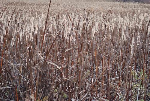 Grasses_Fall3