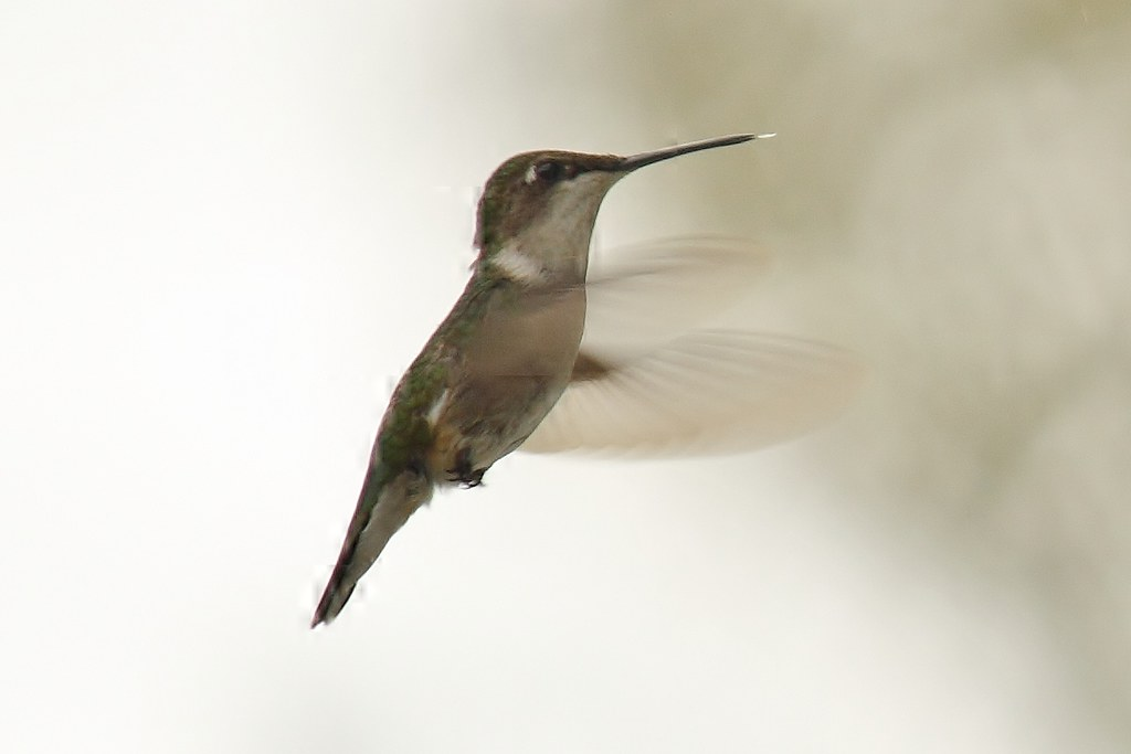 Ruby-throated hummingbird (10)