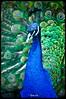 Pavo cristatus (yassefselman.com) Tags: chile ave macho biobio pavoreal cautiverio lota yass pavocristatus parquedelota yassefselman ysfoto