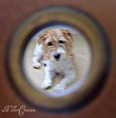 Douglas Dog (wot's it al about, dougie?) Tags: dog brown white cute circle puppy eyes framed buckinghamshire tan fluffy terrier jackrussell round aylesbury