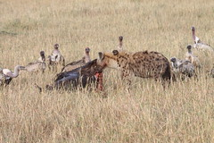 Wildebeest: It's what's for breakfast! (beerboxerboy) Tags: africa kenya safari mara vulture carcass hyena wildebeest masaimara maasaimara spottedhyena wildebeestcarcass