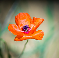 poppy in the wind (Danyel B. Photography) Tags: nature natur outside canon macro makro close bokeh 200mm flower blume plant pflanze blossom blüte
