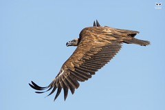 Grifo, Griffon Vulture (Gyps fulvus) (Nuno Xavier Moreira) Tags: grifo griffonvulturegypsfulvusemliberdadewildlifenunoxavierlopesmoreirangc animals animais aves de portugal observação nature natureza selvagem pics wildlife wildnature wild photographer birds birding birdwatching em bird ao ar livre ornitologia ngc nuno xavier moreira nunoxaviermoreira liberdade national geographic abutre vulture gypsfulvus eurasiangriffon eurasiangriffonvulture
