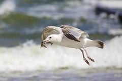 Catch of the day II (proefdier) Tags: balticsea beach brandung europeanherringgull europeanplaice fisch fish gull larusargentatus möwe ostsee plattfisch poland polen sand scholle silbermöwe stolpmünde strand ustka wasser water waves wellen