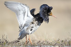 Ruff / Suokukko (Tuomo Nykänen) Tags: ruff suokukko calidris pugnax suomenlinnut suomi lintu finnish bird