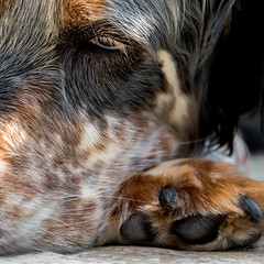 Paws for thought - HMM (Relaxation) (Coisroux) Tags: animal dog paws snoozing fur englishsetter macromondays relaxation sleeping sleepingdogs whiskers d5500 nikond hmm pets