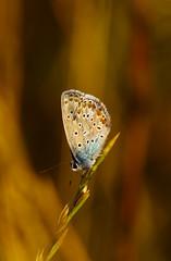 Enjoying the sunset (Inka56) Tags: 7dwf macro closeup butterfly sunset goldenhour hbw bokeh