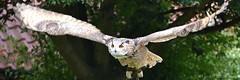 Turkemanian Eagle Owl (Bri_J) Tags: tropicalbutterflyhouse northanston sheffield southyorkshire uk yorkshire nikkon d7200 butterflyhouse turkemanianeagleowl eagleowl bird birdofprey bubobuboturcomanus