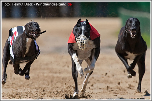 Greyhounds in Münster: Action - Shadow - Randolf