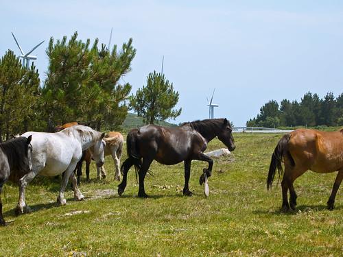 Maltrato animal na Serra de Outes - Parque eólico Pedregal - Tremuzo