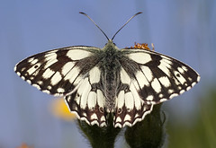 Marbled White (Andrew Haynes Wildlife Images) Tags: nature butterfly insect rugby wildlife warwickshire wwt marbledwhite sigma70mm draycotemeadows