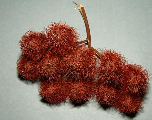 Bixa orellana - fruit rocou