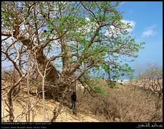 Baobab at Hashir Mountain, Mirbat, Dhofar (Shanfari.net) Tags: trees mountain tree nature lumix raw natural panasonic malvaceae oman fz  ayn jebel jabal ain jebal zufar digitata rw2 salalah hashir sultanate dhofar  khareef    mirbat adansonia    dufar adansoniadigitata aqabat      dhufar governorate  aqbat dofar fz38 marbat  fz35 dmcfz35