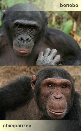 bonobo y chimpance