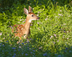 Fawn at Boot Lake (Jon_Marshall) Tags: park baby nature wildlife young indiana deer spots fawn spotted bambi elkhart naturepreserve whitetail whitetailed whitetaileddeer bootlake bootlakenaturepreserve