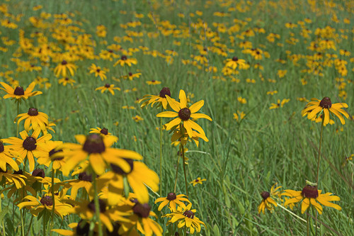Yellow composite wildflowers, at Fort Bellefontaine, in Saint Louis County, Missouri, USA