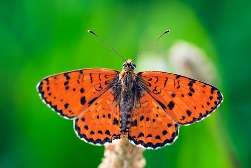 [フリー画像] 動物, 昆虫, 蝶・チョウ, 201009232300
