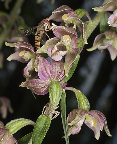 Mangeurs de pollen à orchidées 4753455835_1894175250