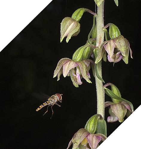 Mangeurs de pollen à orchidées 4754071272_f030caa7a5