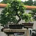 Bonsaï & Penjing - Speckled alder - Alnus incana ssp rugosa - Betulaceae - 20 years old - Created by J-M Rochon - Donor Soc de bonsai & de penjing de MTL C20100620 039