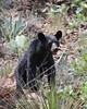 Ursus americanus, Black Bear (tripp.davenport) Tags: bear mammal tx bigbendnationalpark blackbear bigbend ursusamericanus brewstercounty chihuahuandesert cattailfalls