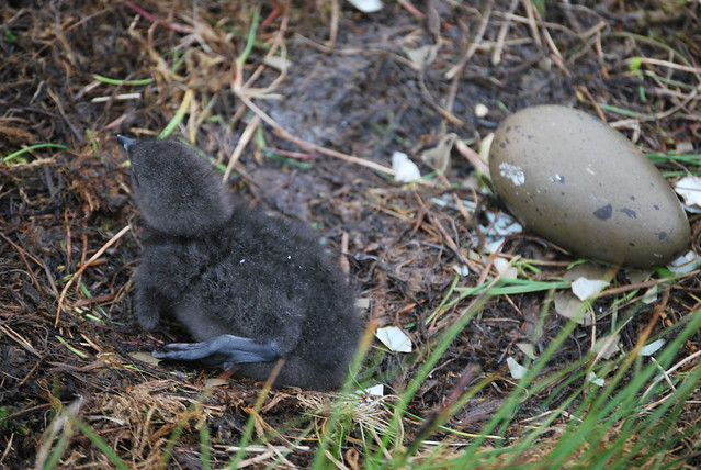Newborn redthroated diver chick by Mortan