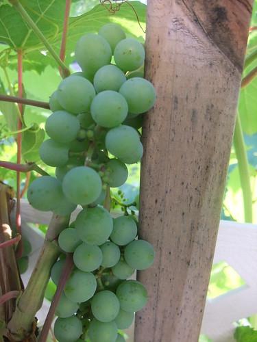 Grapes 7/1/2010