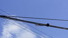 Black Drongo (ddsnet) Tags: new birds sony experience   nex  mirrorless emount nex5 newemountexperience