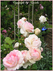 Eden rose is blooming again (Boxwoodcottage) Tags: pink summer rose garden soft cottage july romantic eden 85 2010 pierrederonsard ilroseto boxwoodcottage