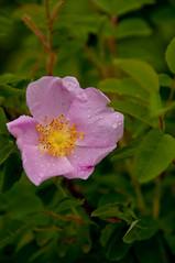 Wild Rose (Joseph Austin) Tags: canada flower water car rain nationalpark drops nikon alberta wildrose elkisland waterdrops elkislandnationalpark provincialflower d300s nikond300s afsnikkor1820013556ged