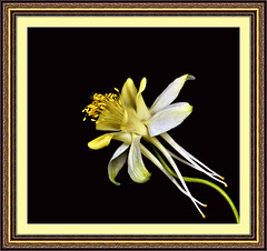 Formal Debutante Coming Out Portrait (Vidterry) Tags: flower studio columbine studioportrait flowerportrait flickrsilver flickrgold flickrbronze yellowandwhitecolumbine yourarthastouchedtheworld dsc91263