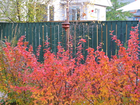 Cotoneaster with favourite acorn birdhouse