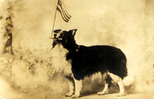 Moxie the Dog with flag in mouth