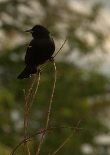 07-12-2010_redwingedblackbird3