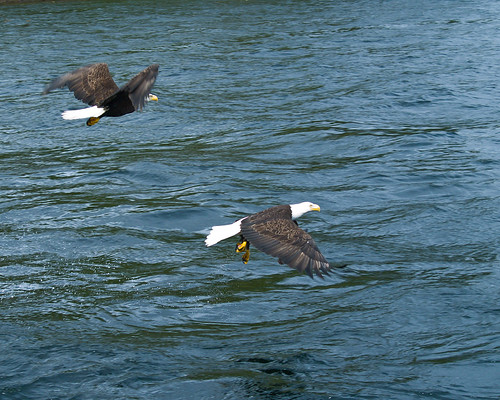 Eagles in Ketchikan