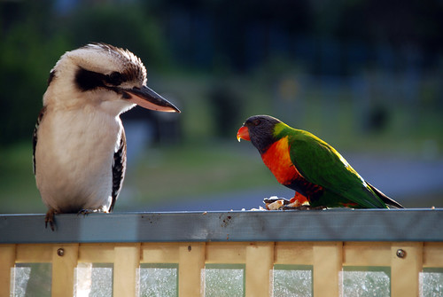 Kookaburra and Rainbow Lorikeet