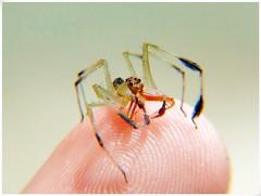 The Big Eyes on My Finger (Bioarach) Tags: mexico spider jumping sony araña veracruz xalapa salticidae lyssomanes saltadora hx1