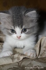 Innocence Kitten ^.^ (Elvirα) Tags: cat kitten miaw قطه قطط قط قطوه مياو myaw هريره هره قطيوه