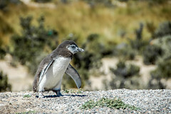 Megellanic Penguin, Punta Tombo, Argentina. (Marie-Laure Even) Tags: patagonia argentina magellanic penguin punta tombo baby du sud argentine south america southamerica american 2008 marielaureeven spheniscusmagellanicus manchot de magellan tourdumonde world tour december dcembre summer et amriquedusud amrique travel voyage animal
