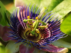Passionsblume (Andy von der Wurm) Tags: plant macro nature closeup flora blossom or pflanze makro blte passionflower soe nahaufnahme passionsblume bluete cubism bej fantasticflower golddragon hobbyphotograph mywinners abigfave shieldofexcellence anawesomeshot diamondclassphotographer flickrdiamond macromarvels theperfectphotographer excellentsflowers natureselegantshots damniwishidtakenthat dragondaggerphoto andreasfucke