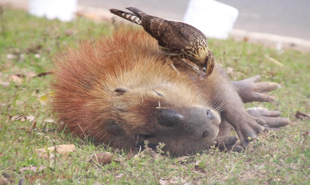 Série com um jovem Gavião-carrapateiro (Milvago chimachima) procurando parasitas no corpo da capivara - Series with a young Yellow-headed Caracara looking for parasites on the Capybara's body - 26-06-