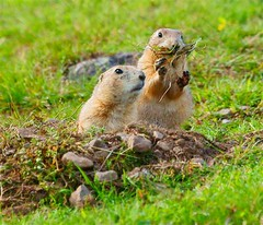 Escaped (sarniebill1) Tags: prairiedogs escaped sarniebill1