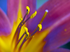 Daylily (bbclare) Tags: park blue light abstract flower color colour macro up field yellow closeup daylight victoriapark day close purple natural bokeh naturallight victoria lilly daylily lillies hackney shallow lilium depth stigma filament shallowdepthoffield liliaceae hemerocallidaceae tepal gynoecium flowerdepthoffield trixilious nikkor105vrf28macro