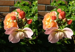 """""""Marie Curie"""" (voxel123) Tags: flowers roses flower floral leaves rose garden photography leaf petals stereoscopic stereogram stereophotography 3d crosseye crosseyed flora petal stereo photograph imaging stereopair chacha stereography stereoscopy mariecurie stereographic freeview stereophotograph stereograms crossview chachamethod xeye stereoscopicimaging"""