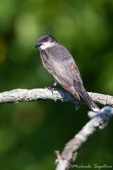 Eastern Kingbird (~ Michaela Sagatova ~) Tags: bird nature flycatcher easternkingbird tyrannustyrannus michaelasagatova