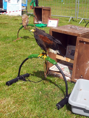 Ben the Harrishawk