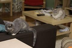 USURPER! (srmatanza) Tags: kitten chippy nibbler