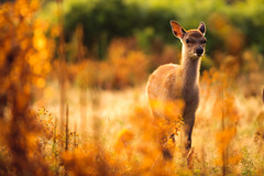 little explorer (andrew evans.) Tags: morning summer england nature fairytale forest sunrise golden countryside kent woods nikon bokeh wildlife deer storybook magical 70200 f28 enchanted d3